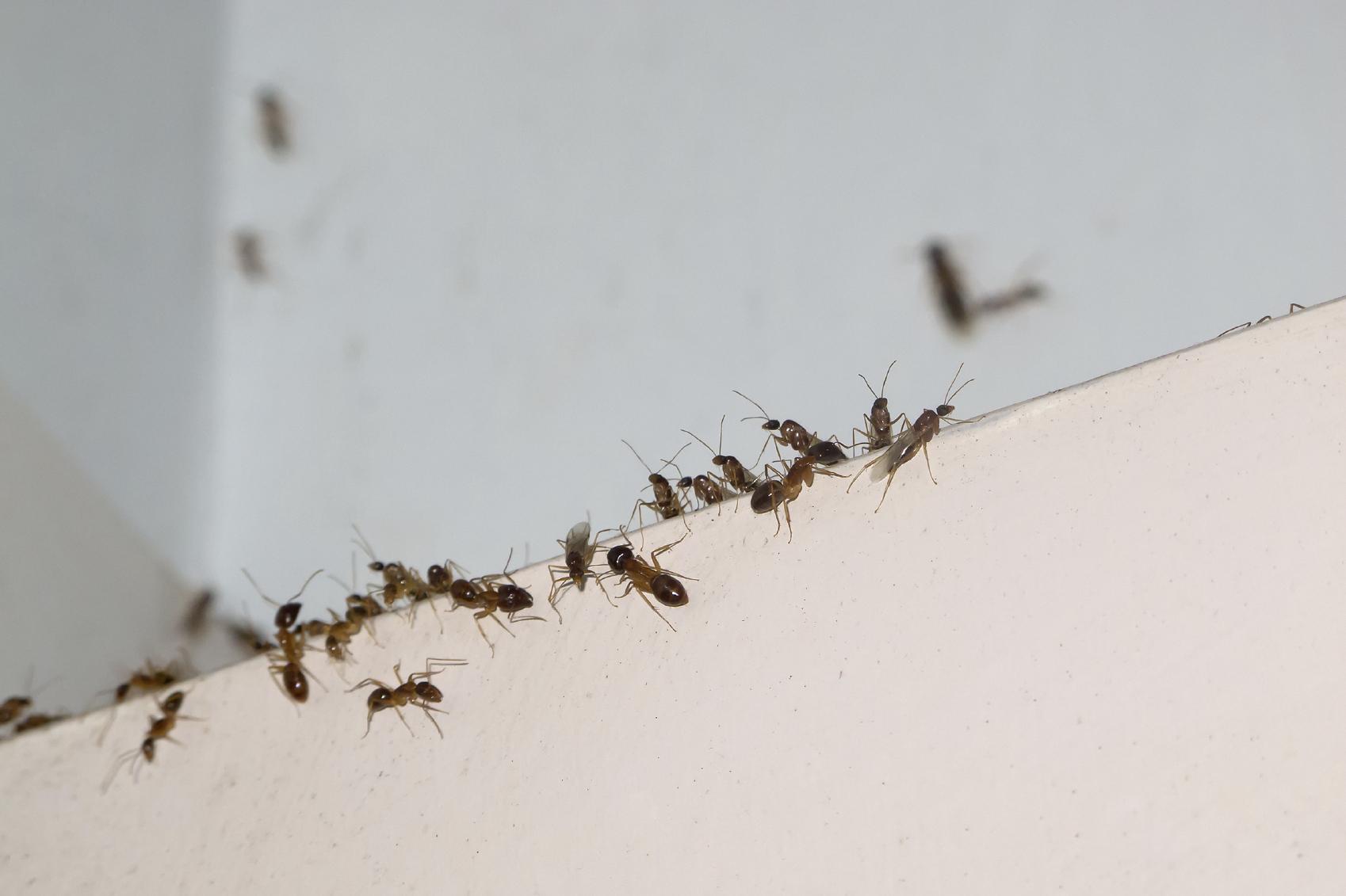Cómo deshacerse de las hormigas domésticas olorosas